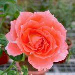 'Princess Aiko' Rose