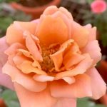 'Raffine Porte' Rose