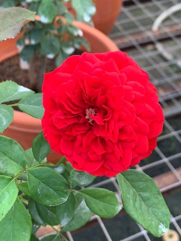 'Red Apple' Rose » Rose Plants