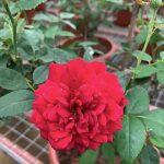 Rosa 'Rouge Royale' » Rose Plants
