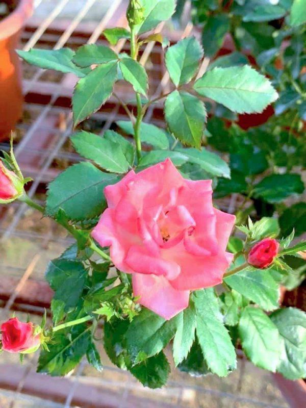 Japanese Rose 'Sakura-Gasumi' Blooming » Rose Plants
