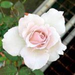 'Saphiret' Rose