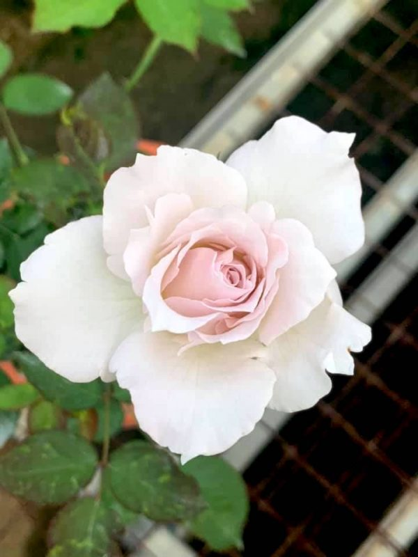 Japanese Rose 'Saphiret' » Rose Plants
