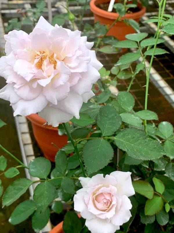 Japanese Roses 'Saphiret' » Rose Plants