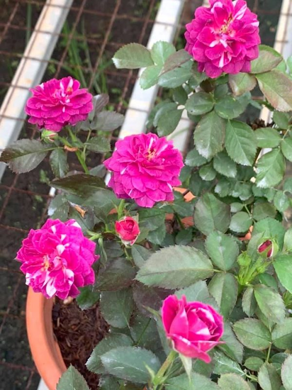 'Scented Jewel' Rose Plant » Rose Plants