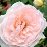 'Sharifa Asma' Rose