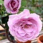 'Shinoburedo' Rose