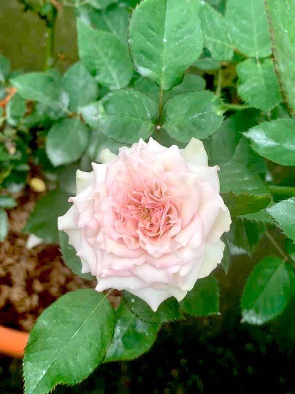 'Silver Rain' Rose » Rose Plants