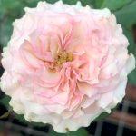 'Silver Rain' Rose