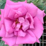 'Thank You' Rose