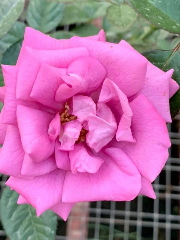 'Thank You' Rose » Rose Plants