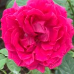 Rosa 'The Dark Lady' » Rose Plants