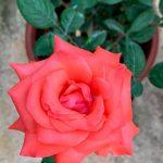 'Tropicana' Rose