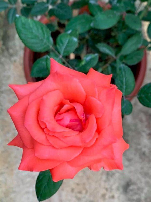 Rosa 'Tropicana' » Rose Plants