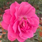 'Ventilo' Rose » Rose Plants