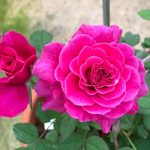 'Ventilo' Roses » Rose Plants