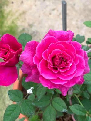 'Ventilo' Rose