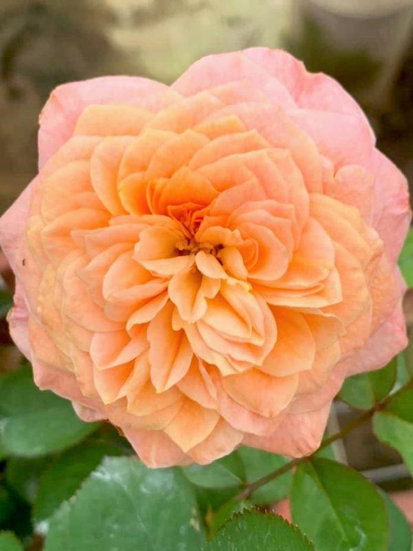 'Victorian Secret' Rose » Rose Plants