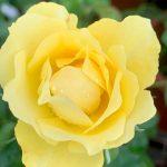 'Walking on Sunshine' Rose