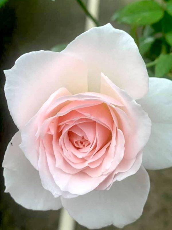 Japanese Rose 'Yuka Cup' » Rose Plants