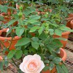 'Yuka Cup' Rose