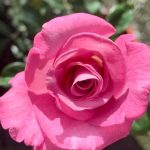 'Azure Sea' Rose