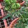 'Concourse' Rose (Rosa Chinensis 'Viridiflora') » Rose Plants