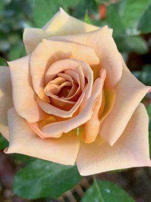 'Honey Dijon' Rose