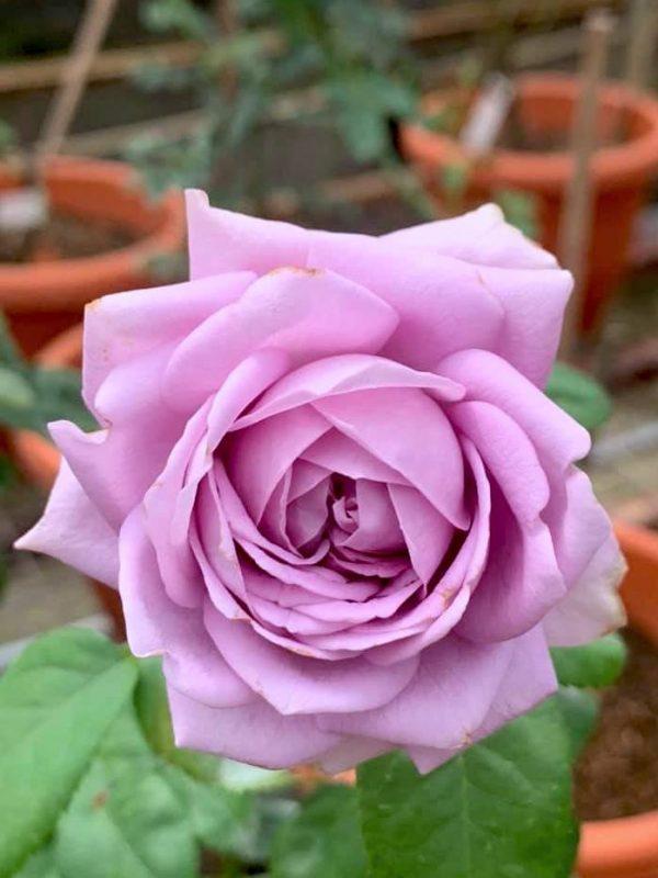 'Kinda Blue' Rose » Rose Plants