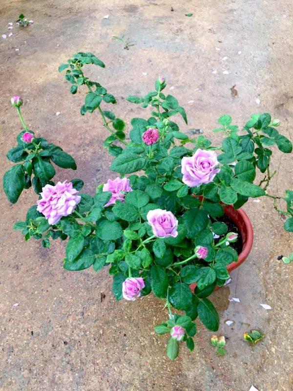'Kinda Blue' Rose Plant » Rose Plants