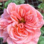 'London Eye' Rose