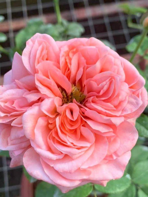 'London Eye' Rose » Rose Plants