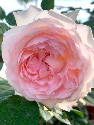 'Moko Moko' Rose