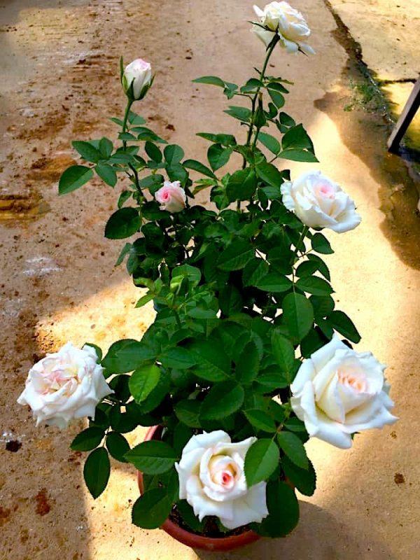'Moonstone' Rose Plant