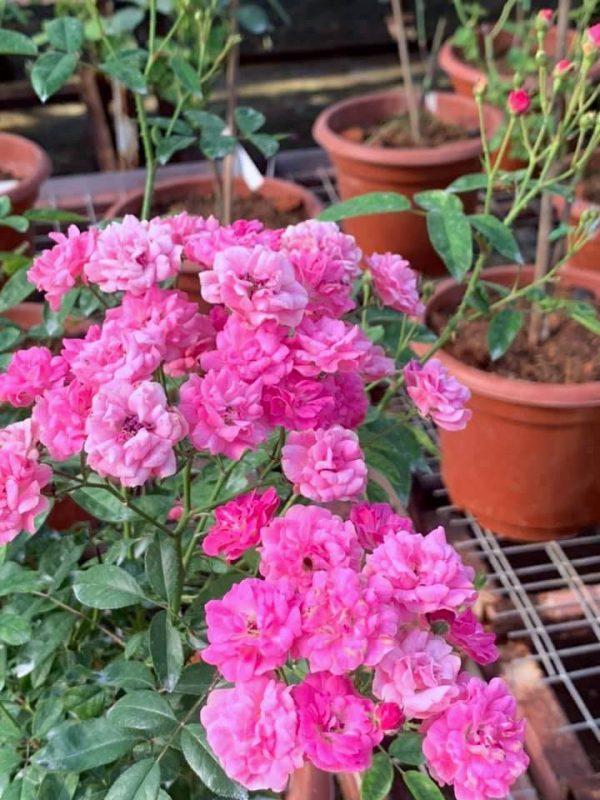 Rosa 'Gartendirektor Otto Linne' » Rose Plants