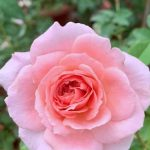 'Phoenix' Rose