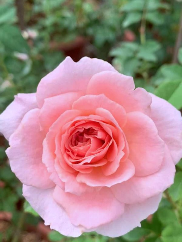 Rosa 'Phoenix' » Rose Plants