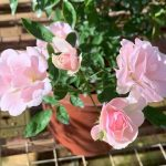 Rosa 'Pink Summer Snow' » Rose Plants