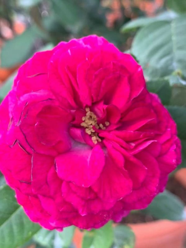 Rosa 'Purple Lodge' » Rose Plants