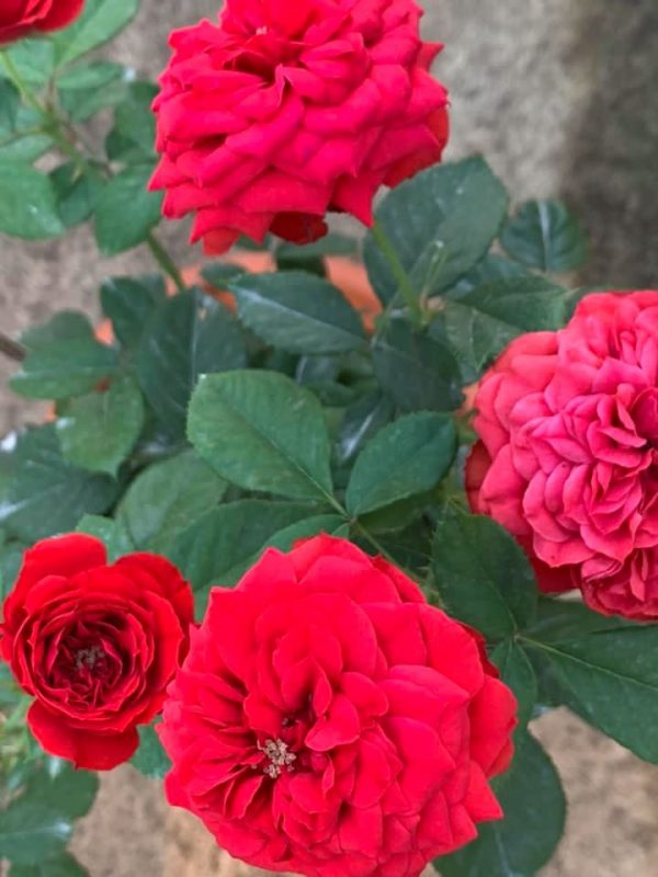 'Red Apple' Roses » Rose Plants