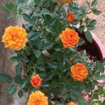 'Ring of Fire' Rose