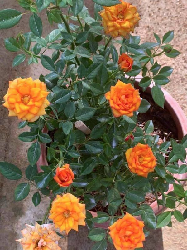Rosa 'Ring of Fire' » Rose Plants