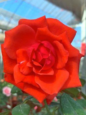 'Super Star' Rose