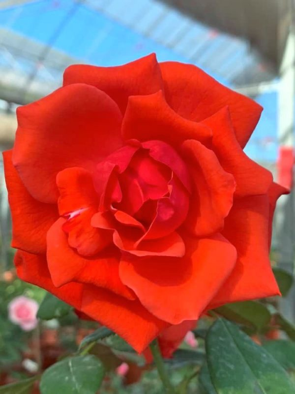 'Super Star' Rose » Rose Plants
