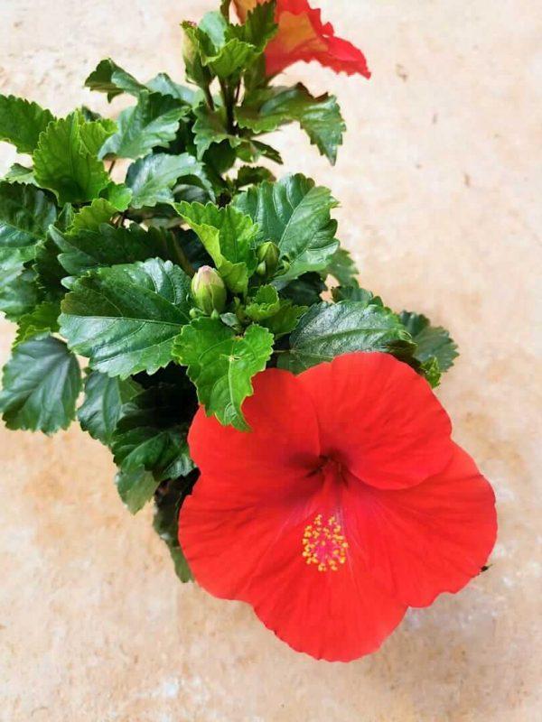 HibisQs® - Volcano Hibiscus » Flowering Plants