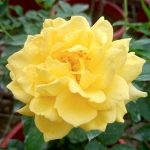 'Absolutely Fabulous' Rose