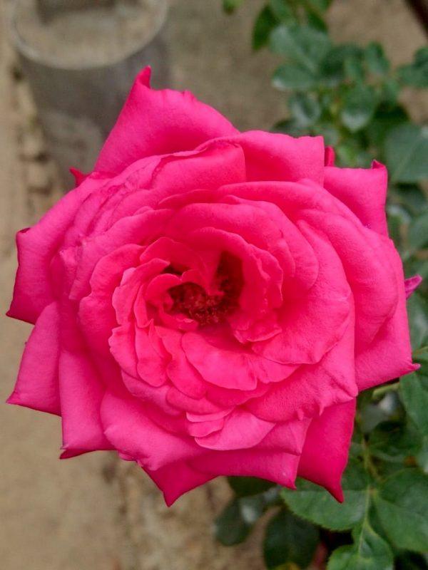 Rosa 'Alec's Red' » Rose Plants