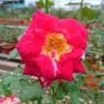 Rosa 'All American Magic' » Rose Plants