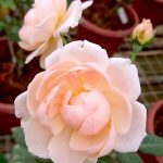'Ambridge' Rose