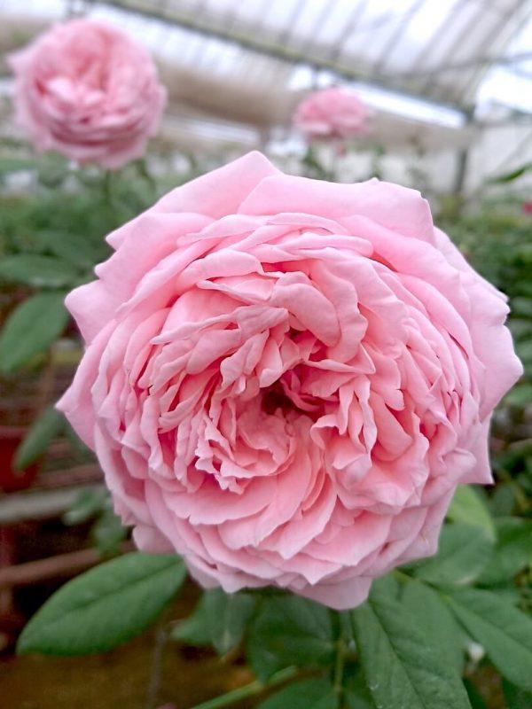 'Anne-Sophie Pic' Rose Tree